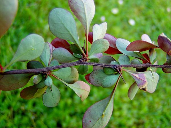 Common Barberry (Berberis Vulgaris) http://www.sagebud.com/common-barberry-berberis-vulgaris