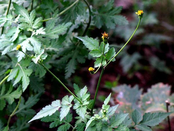 Spanish Needles (Bidens Bipinnata) http://www.sagebud.com/spanish-needles-bidens-bipinnata