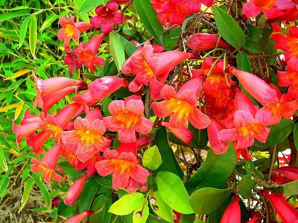 Crossvine (Bignonia Capreolata) http://www.sagebud.com/crossvine-bignonia-capreolata