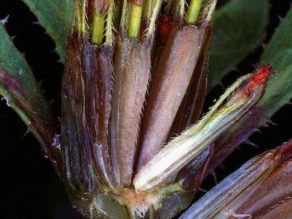 Purplestem Beggarticks (Bidens Connata) http://www.sagebud.com/purplestem-beggarticks-bidens-connata