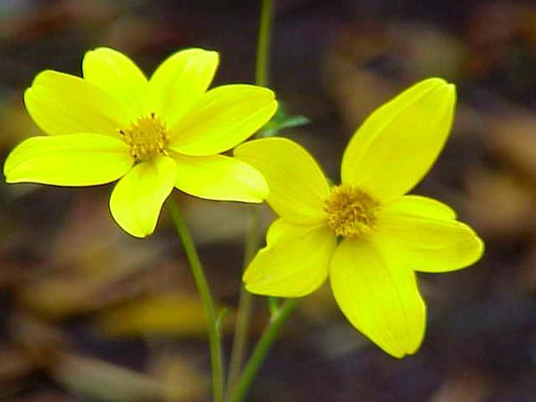 Apache Beggarticks (Bidens Ferulifolia) http://www.sagebud.com/apache-beggarticks-bidens-ferulifolia
