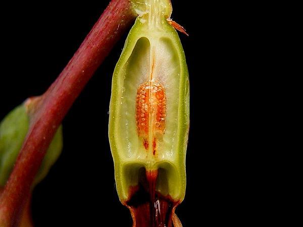 Billbergia (Billbergia) http://www.sagebud.com/billbergia-billbergia