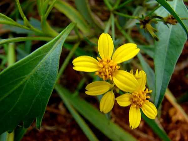 Grassland Beggarticks (Bidens Micrantha) http://www.sagebud.com/grassland-beggarticks-bidens-micrantha