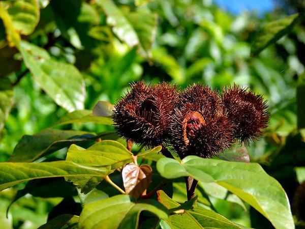 Lipsticktree (Bixa Orellana) http://www.sagebud.com/lipsticktree-bixa-orellana