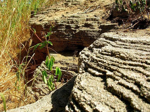Hairy Beggarticks (Bidens Pilosa) http://www.sagebud.com/hairy-beggarticks-bidens-pilosa