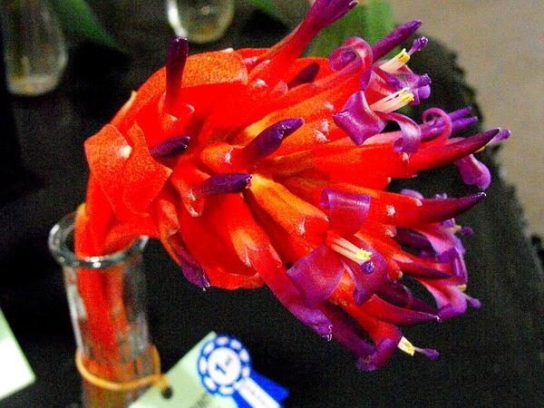 Foolproofplant (Billbergia Pyramidalis) http://www.sagebud.com/foolproofplant-billbergia-pyramidalis