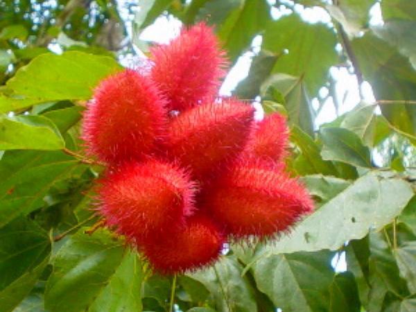 Bixa (Bixa) http://www.sagebud.com/bixa-bixa