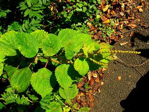 False Nettle