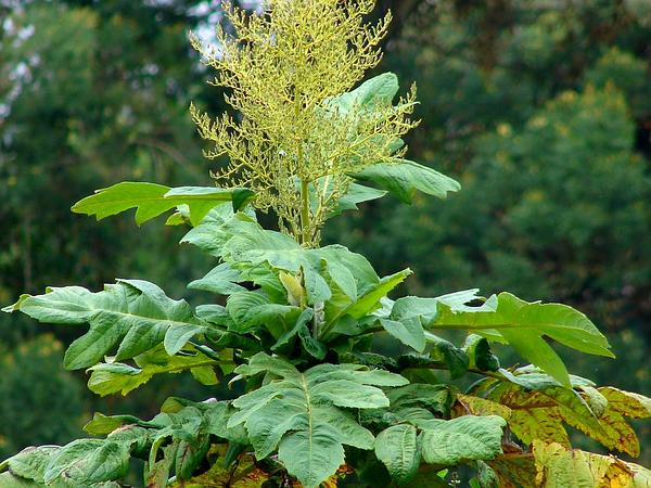 Parrotweed (Bocconia Frutescens) http://www.sagebud.com/parrotweed-bocconia-frutescens/