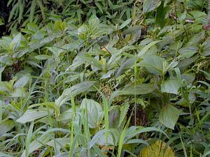 Hawai'I False Nettle