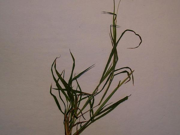 Pitted Beardgrass (Bothriochloa Pertusa) http://www.sagebud.com/pitted-beardgrass-bothriochloa-pertusa