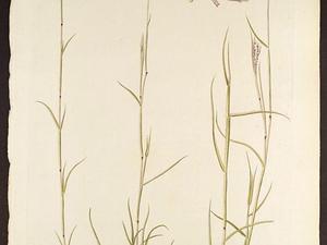 Beardgrass