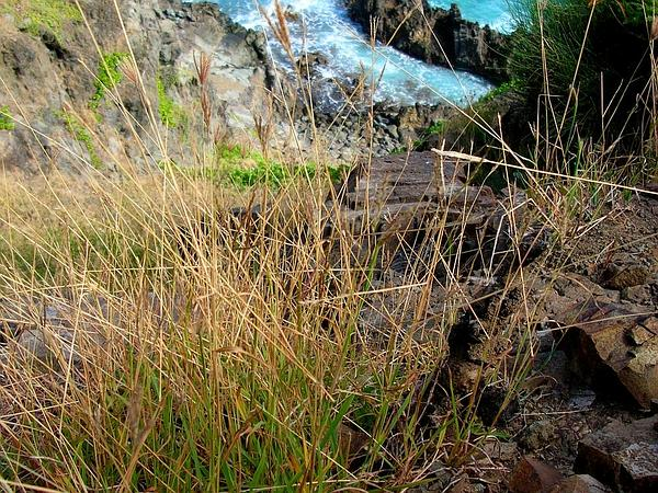 Beardgrass (Bothriochloa) http://www.sagebud.com/beardgrass-bothriochloa