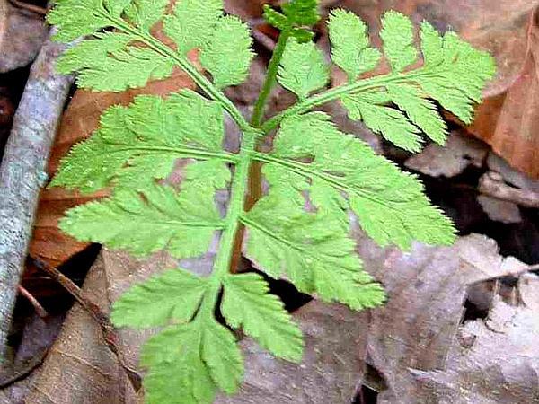 Grapefern (Botrychium) http://www.sagebud.com/grapefern-botrychium/