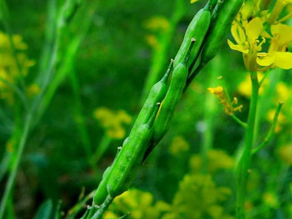 Mustard (Brassica) http://www.sagebud.com/mustard-brassica