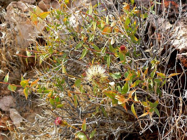 Spearleaf Brickellbush (Brickellia Atractyloides) http://www.sagebud.com/spearleaf-brickellbush-brickellia-atractyloides/