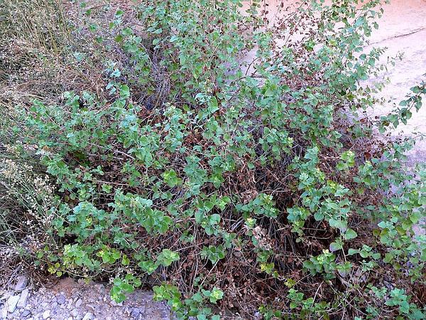 California Brickellbush (Brickellia Californica) http://www.sagebud.com/california-brickellbush-brickellia-californica