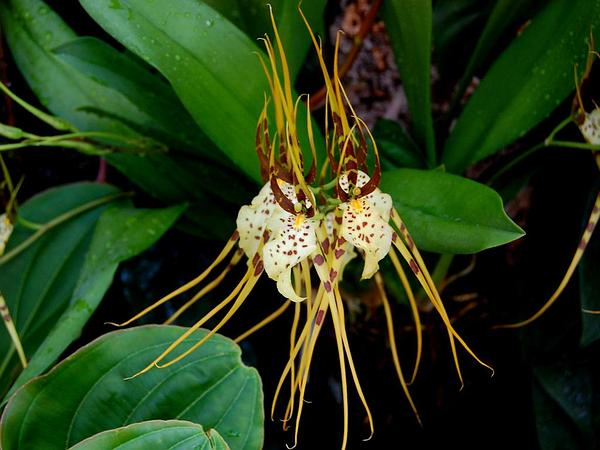 Cricket Orchid (Brassia Caudata) http://www.sagebud.com/cricket-orchid-brassia-caudata
