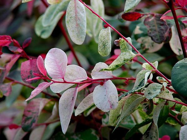 Snowbush (Breynia Disticha) http://www.sagebud.com/snowbush-breynia-disticha