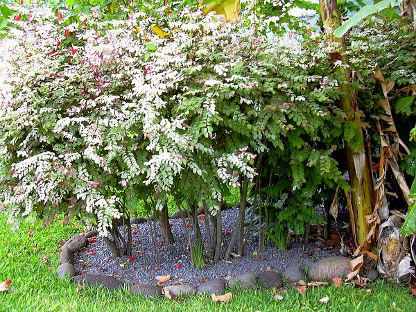 Breynia (Breynia) http://www.sagebud.com/breynia-breynia