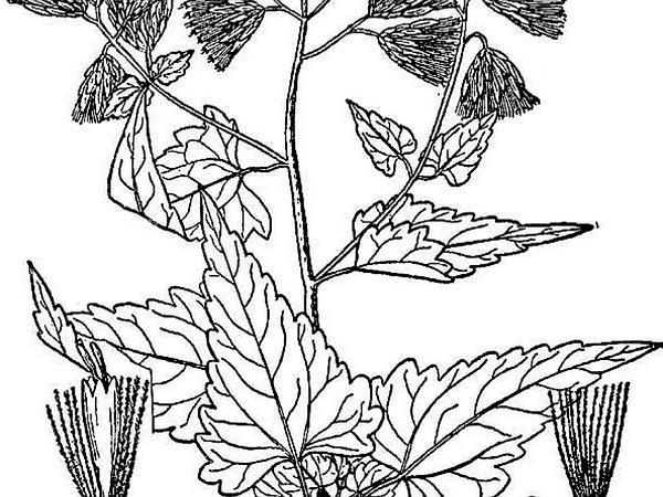 Tasselflower Brickellbush (Brickellia Grandiflora) http://www.sagebud.com/tasselflower-brickellbush-brickellia-grandiflora