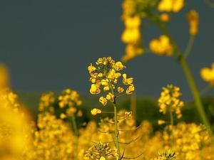India Mustard