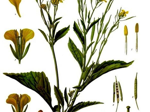India Mustard (Brassica Juncea) http://www.sagebud.com/india-mustard-brassica-juncea