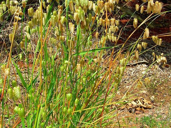 Big Quakinggrass (Briza Maxima) http://www.sagebud.com/big-quakinggrass-briza-maxima/