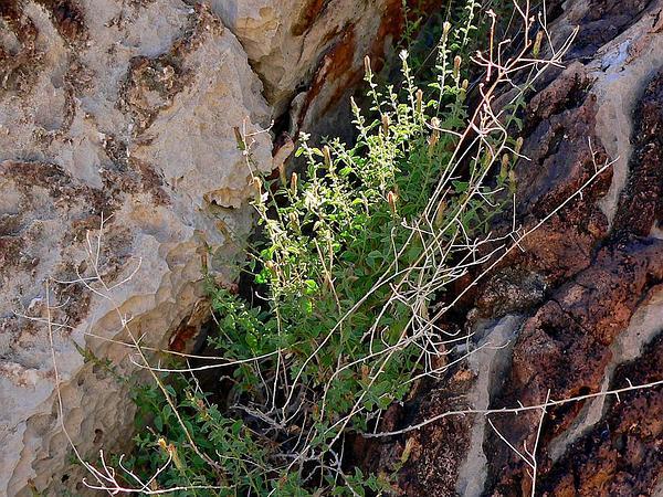 Littleleaf Brickellbush (Brickellia Microphylla) http://www.sagebud.com/littleleaf-brickellbush-brickellia-microphylla