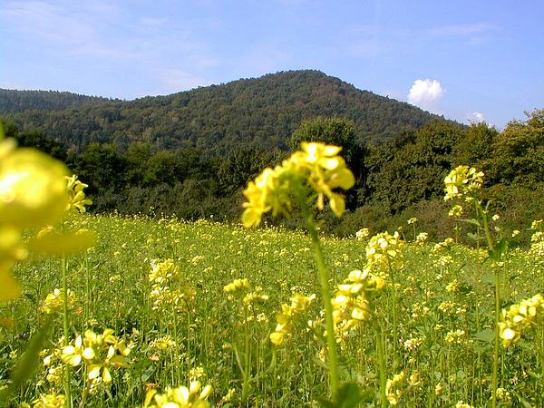Rape (Brassica Napus) http://www.sagebud.com/rape-brassica-napus