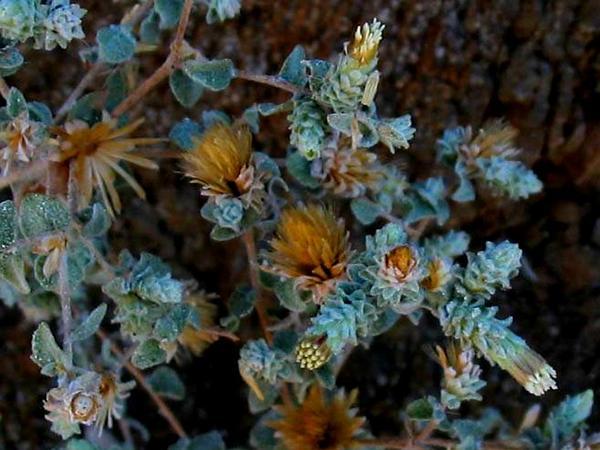 Nevin's Brickellbush (Brickellia Nevinii) http://www.sagebud.com/nevins-brickellbush-brickellia-nevinii/