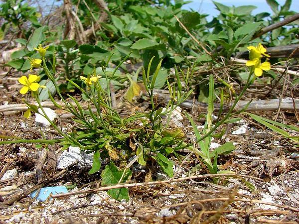 Black Mustard (Brassica Nigra) http://www.sagebud.com/black-mustard-brassica-nigra