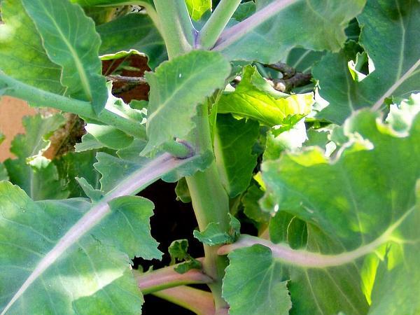 Cabbage (Brassica Oleracea) http://www.sagebud.com/cabbage-brassica-oleracea