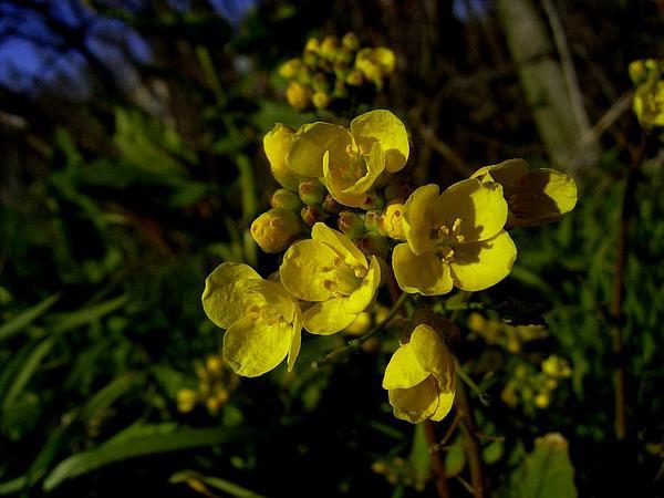 Field Mustard (Brassica Rapa) http://www.sagebud.com/field-mustard-brassica-rapa