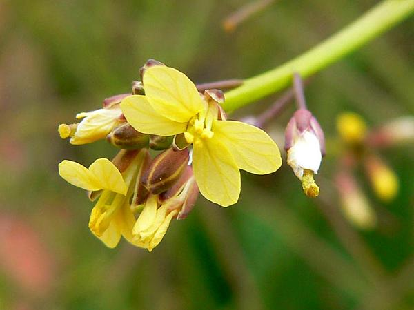 Asian Mustard (Brassica Tournefortii) http://www.sagebud.com/asian-mustard-brassica-tournefortii
