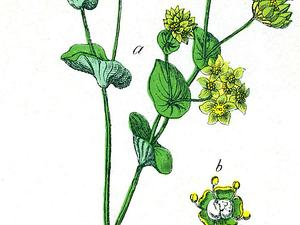 BURO/Bupleurum_rotundifolium_300.jpg