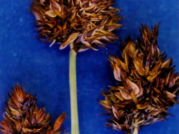Abruptbeak Sedge (Carex Abrupta) http://www.sagebud.com/abruptbeak-sedge-carex-abrupta