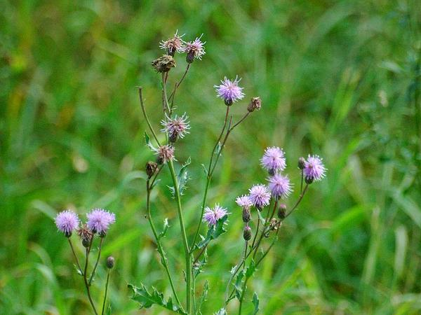 Spiny Plumeless Thistle (Carduus Acanthoides) http://www.sagebud.com/spiny-plumeless-thistle-carduus-acanthoides