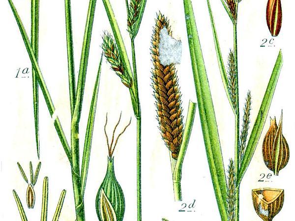 Lesser Pond Sedge (Carex Acutiformis) http://www.sagebud.com/lesser-pond-sedge-carex-acutiformis