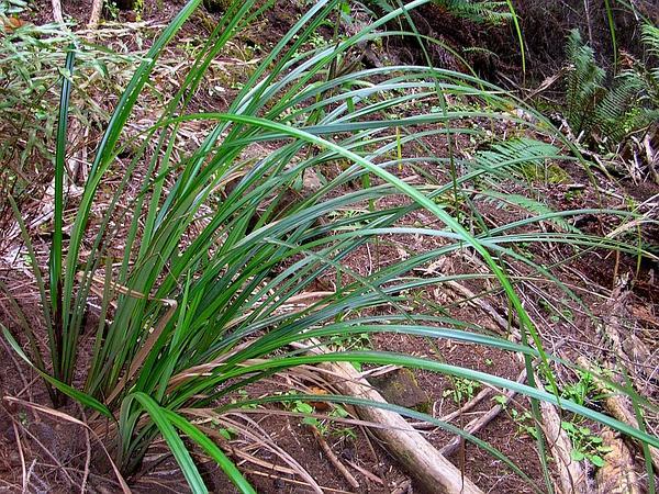 Hawai'I Sedge (Carex Alligata) http://www.sagebud.com/hawaii-sedge-carex-alligata