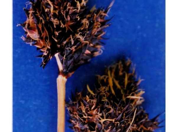 Blackandwhite Sedge (Carex Albonigra) http://www.sagebud.com/blackandwhite-sedge-carex-albonigra