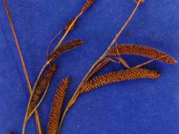 Widefruit Sedge (Carex Angustata) http://www.sagebud.com/widefruit-sedge-carex-angustata