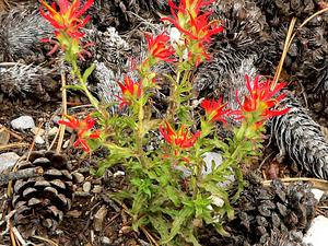 Wavyleaf Indian Paintbrush