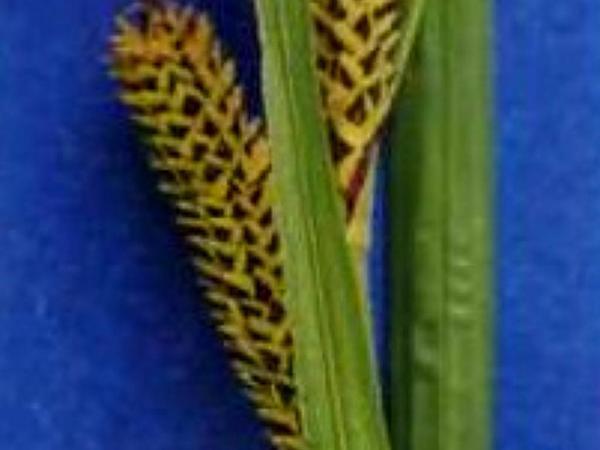 Water Sedge (Carex Aquatilis) http://www.sagebud.com/water-sedge-carex-aquatilis