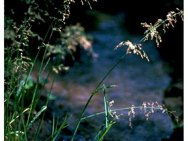 Water Whorlgrass (Catabrosa Aquatica) http://www.sagebud.com/water-whorlgrass-catabrosa-aquatica
