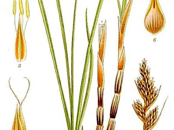 Sand Sedge (Carex Arenaria) http://www.sagebud.com/sand-sedge-carex-arenaria