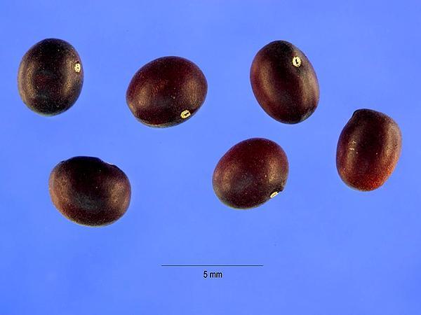 Siberian Peashrub (Caragana Arborescens) http://www.sagebud.com/siberian-peashrub-caragana-arborescens