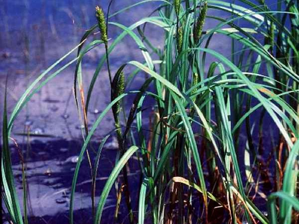 Wheat Sedge (Carex Atherodes) http://www.sagebud.com/wheat-sedge-carex-atherodes