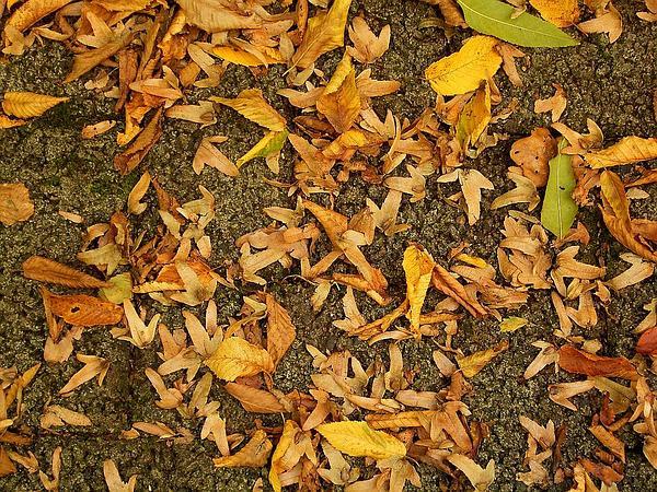 European Hornbeam (Carpinus Betulus) http://www.sagebud.com/european-hornbeam-carpinus-betulus