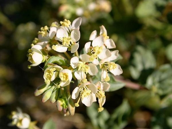 Booth's Evening Primrose (Camissonia Boothii) http://www.sagebud.com/booths-evening-primrose-camissonia-boothii/